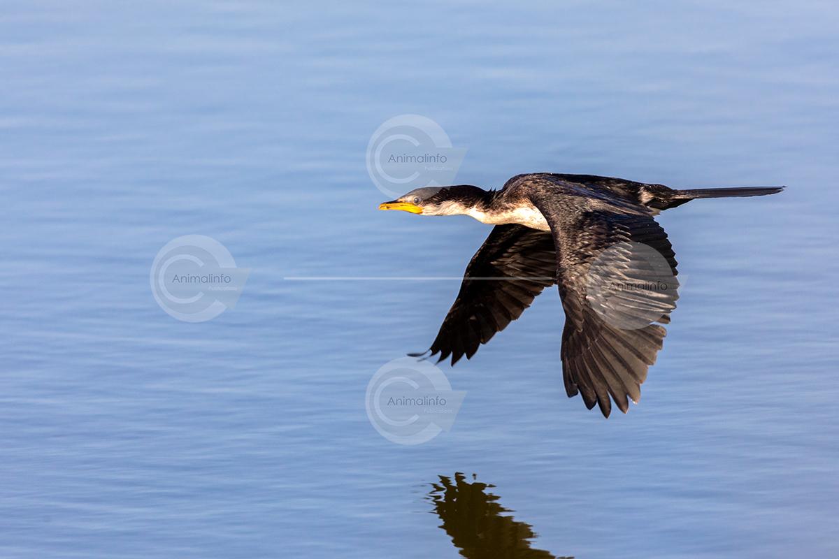 Little Pied Cormorant in flight