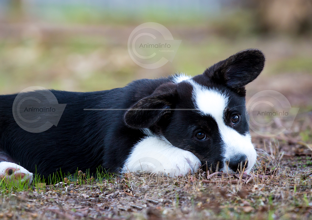Cute Cardigan Corgi puppy close-up