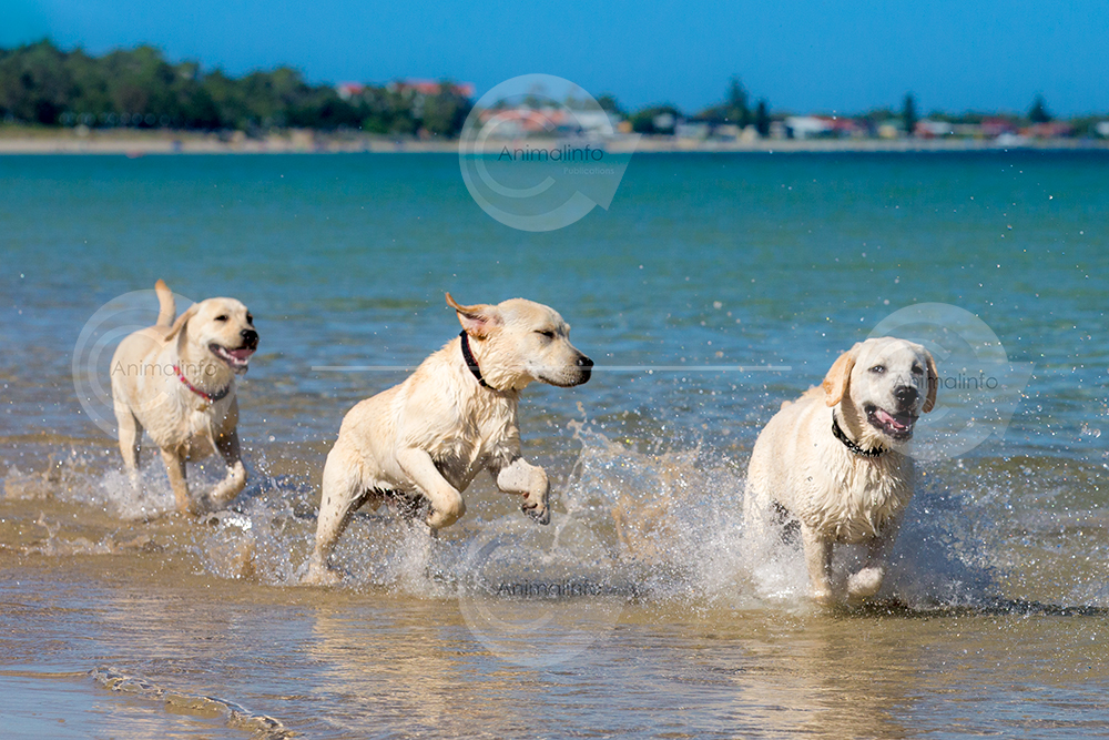Three happy Labrador puppies at the beach