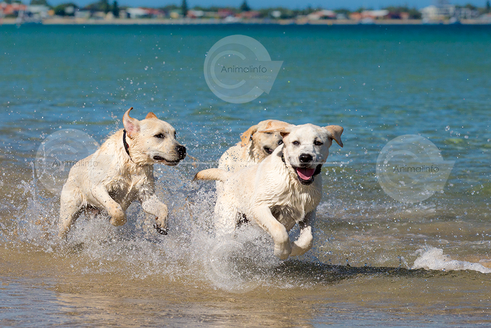 Three young Labradors at the beach