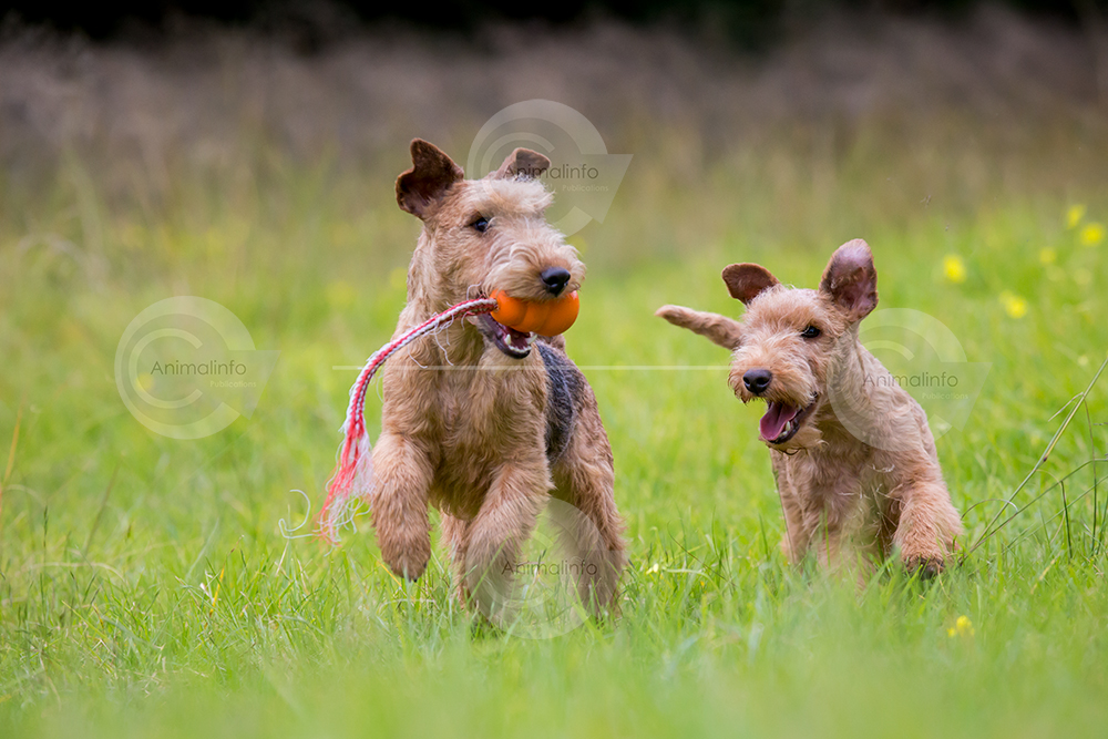 Lakeland Terriers playing in a field with a toy.