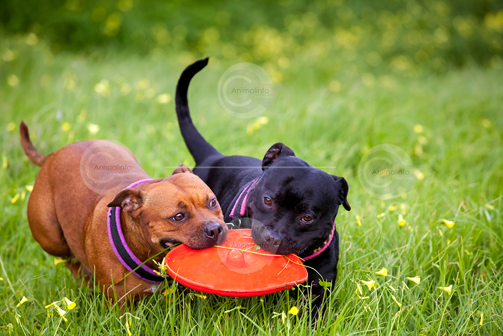 Two Staffordshire Bull Terriers playing with a frisbee.
