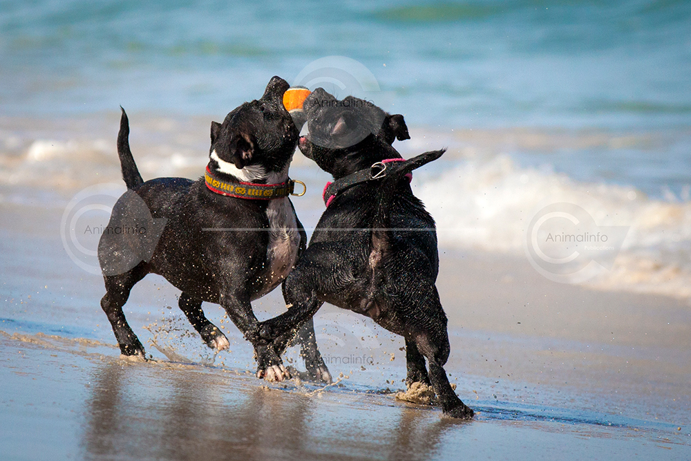 Staffordshire Bull Terriers on the beach